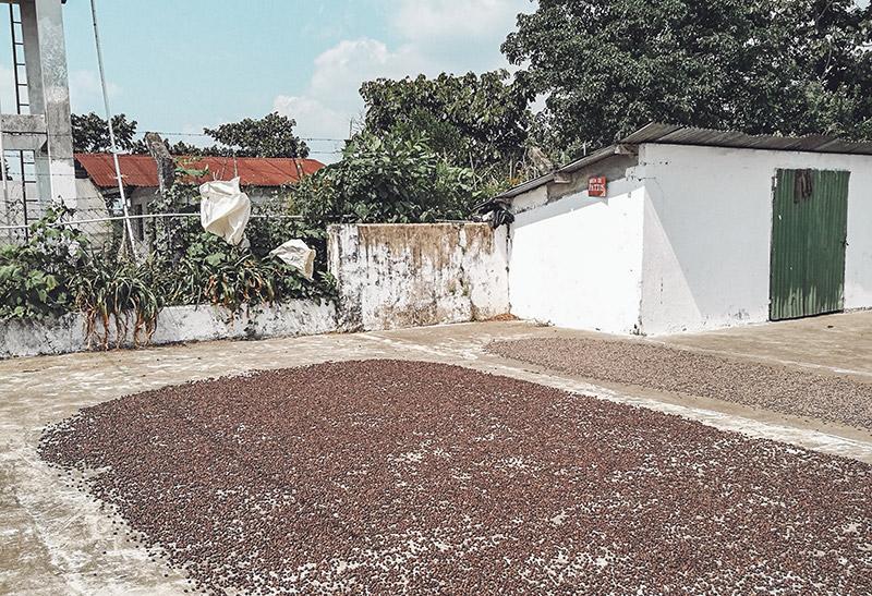 Kaffeebohnen werden auf Kaffeeplantage getrocknet
